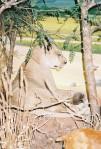 Cabella's lioness