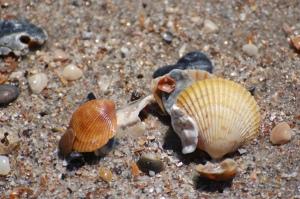 Edisto shells
