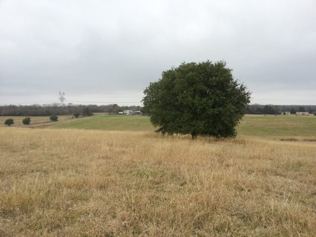 bremond tree