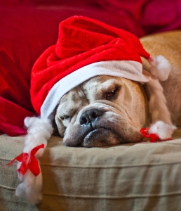 Bulldog After Christmas